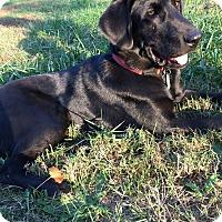 Labrador Retriever Mix Puppy for adoption in Charlotte, North Carolina - Harley