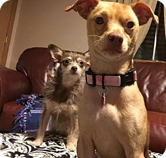 Terrier (Unknown Type, Medium)/Chihuahua Mix Dog for adoption in Genoa City, Wisconsin - Pancake- 11 pounds