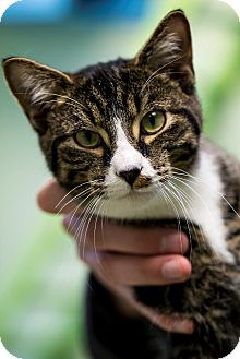 Domestic Shorthair Cat for adoption in Indianapolis, Indiana - Fore