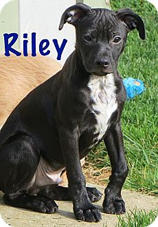 Chihuahua Mix Puppy for adoption in Fort Wayne, Indiana - Riley