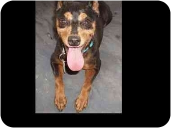 Miniature Pinscher Dog for adoption in Phoenix, Arizona - Gretel
