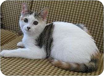 Calico Cat for adoption in Cocoa, Florida - Hazey