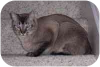 Siamese Cat for adoption in Simms, Texas - ET & Sassy