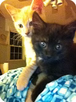 Domestic Shorthair Kitten for adoption in Chesterfield, Virginia - Kittens