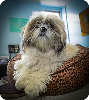 Havanese Mix Dog for adoption in New York, New York - Fifi