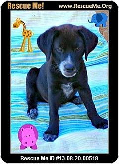 Labrador Retriever/Border Collie Mix Puppy for adoption in Scottsdale, Arizona - TJ