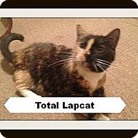 Adopt A Pet :: RIVER - FIV+ CALICO (25.00) - Rochester, NY