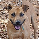 Adopt A Pet :: Andy (boxer mix). **ADOPTION PENDING **