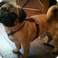 Adopt A Pet :: Dupree - Huntingdon Valley, PA