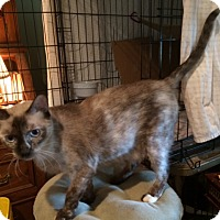 Snowshoe Cat for adoption in Metairie, Louisiana - Honey