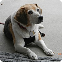 Adopt A Pet :: Cheyenne - Dumfries, VA