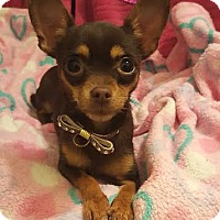 Adopt A Pet :: Rihanna - Wellington, FL
