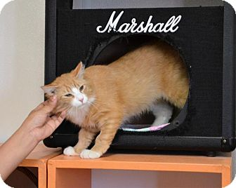 Domestic Mediumhair Cat for adoption in DuQuoin, Illinois - Rory