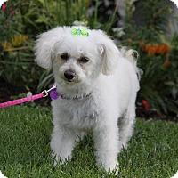 Adopt A Pet :: CUPCAKE - Newport Beach, CA