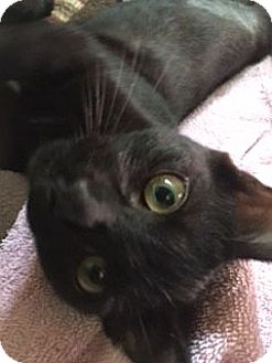 Domestic Shorthair Kitten for adoption in Columbia, South Carolina - Ruthie