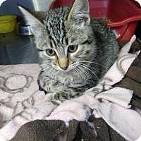 Adopt A Pet :: Nibbles - Sauk Rapids, MN