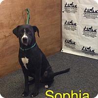 Labrador Retriever Dog for adoption in Waycross, Georgia - Sophia