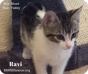 Domestic Shorthair Kitten for adoption in Temecula, California - Ravi