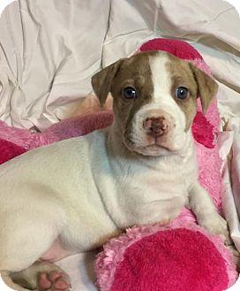 Hound (Unknown Type)/Pit Bull Terrier Mix Puppy for adoption in Barnhart, Missouri - Lisa
