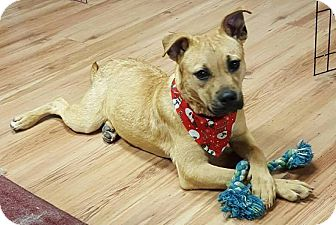 Black Mouth Cur/Labrador Retriever Mix Puppy for adoption in Southbury, Connecticut - Trixie