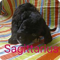 Adopt A Pet :: Sagittarius - Garden City, MI