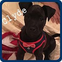 Labrador Retriever/Mixed Breed (Medium) Mix Puppy for adoption in Wichita Falls, Texas - Clyde