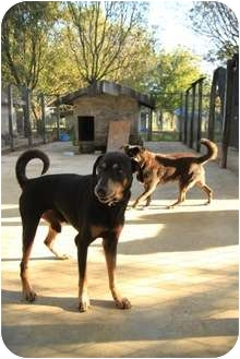 Doberman Pinscher/Terrier (Unknown Type, Small) Mix Dog for adoption in Key Biscayne, Florida - Lou