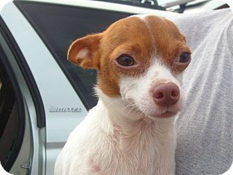 Chihuahua Dog for adoption in Windsor, Missouri - Spike