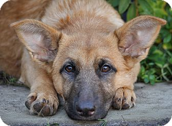 German Shepherd Dog Mix Puppy for adoption in Los Angeles, California - Nicole von Niesky