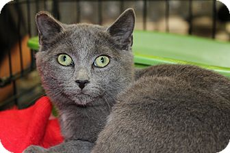 Russian Blue Kitten for adoption in Santa Monica, California - Wendal
