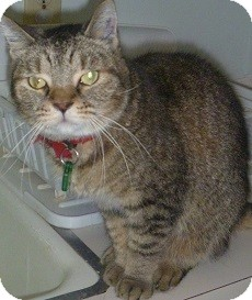Domestic Shorthair Cat for adoption in Hamburg, New York - Tiger Lily