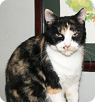 Calico Cat for adoption in Atlanta, Georgia - Atlanta