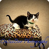Adopt A Pet :: Domino - Warren, MI