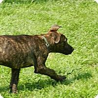 Adopt A Pet :: Bear - South Jersey, NJ