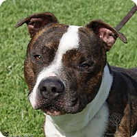 American Bulldog/Boxer Mix Dog for adoption in Dundee, Michigan - Eastwood