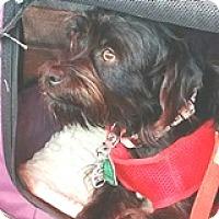 Adopt A Pet :: Chewie Leia - Houston, TX