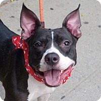 Adopt A Pet :: Bella Donna - Long Beach, NY
