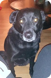 Labrador Retriever/Collie Mix Dog for adoption in Surrey, British Columbia - Lucy