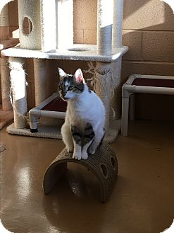 Domestic Shorthair Cat for adoption in Goshen, New York - Aurora
