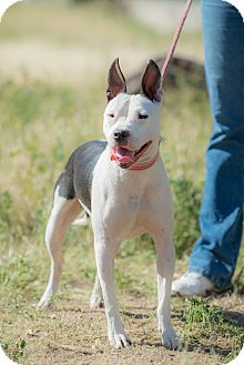 Bull Terrier Mix Dog for adoption in San Diego, California - Lissy