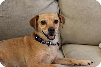 Terrier (Unknown Type, Medium)/Chihuahua Mix Dog for adoption in Denver, Colorado - Lilly