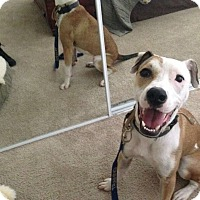 Adopt A Pet :: Sazzy - Austin, TX