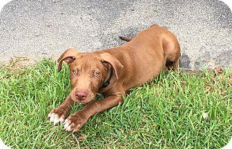 American Staffordshire Terrier/Labrador Retriever Mix Puppy for adoption in Matawan, New Jersey - Peanut