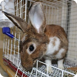 Belgian Hare Mix for adoption in Ellicott City, Maryland - 22887 - Miss Bunny