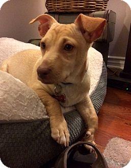 Labrador Retriever Mix Puppy for adoption in San Diego, California - Spock