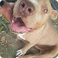 Pit Bull Terrier Mix Dog for adoption in Seattle, Washington - Balboa
