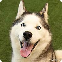 Adopt A Pet :: Maya - Burlingame, CA