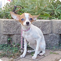 Rat Terrier Mix Puppy for adoption in West Chicago, Illinois - Leala