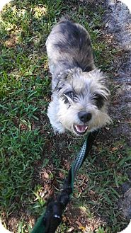 Schnauzer (Standard) Mix Dog for adoption in Ft. Lauderdale, Florida - Maggie