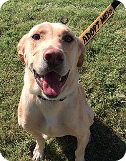Labrador Retriever Mix Dog for adoption in Winnipeg, Manitoba - Pumpkin